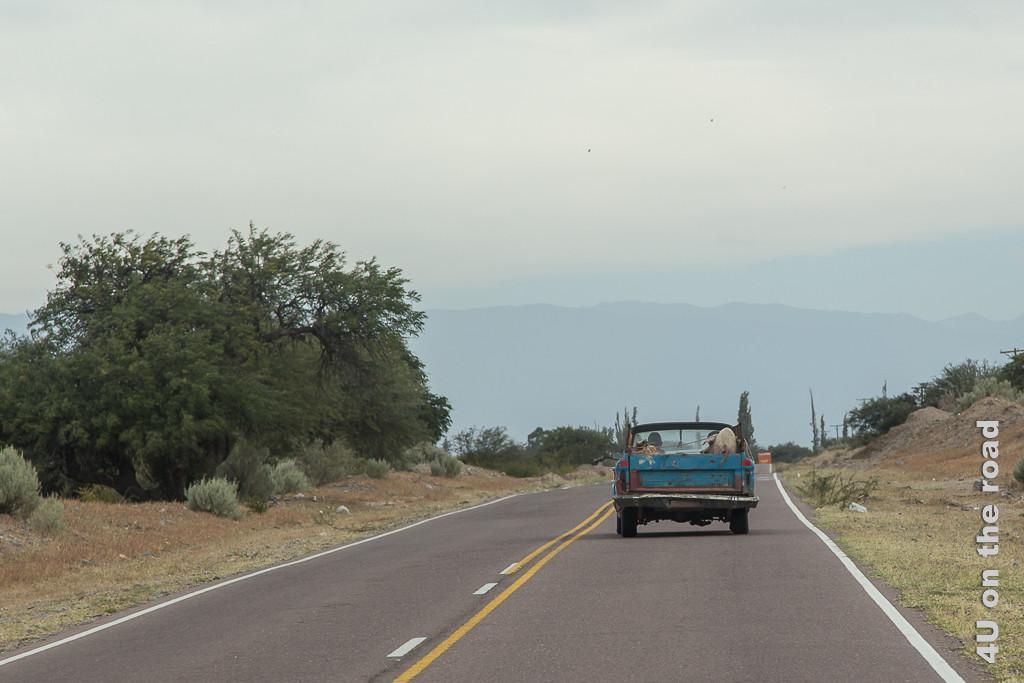 Bild Wie sich das Schwein auf dem alten Pickup wohl so fühlt. Auf der Ladefläche des vor uns fahrenden, uralten, rostzerfressenen Pickup vor uns steht ein Schwein.