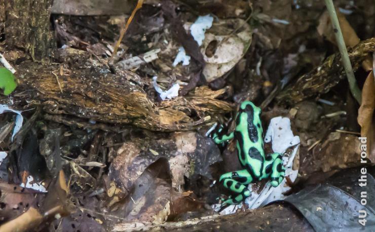 Feature Bild Selva Bananita - Frosch
