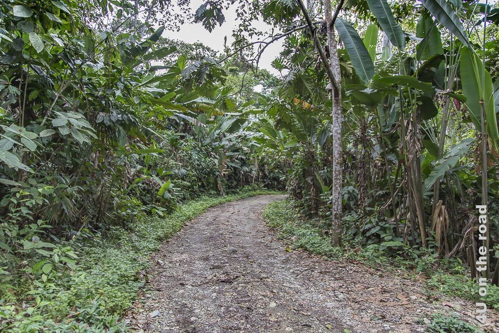 Bild Auf dem Weg zur Lodge zeigt einen Schotterweg durch verwilderte Bananenplantagen