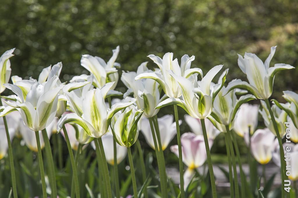 Bild Ballett im Frühling, Botanischer Garten New York, zeigt lilienblütige, geöffnete Tulpen in weiss mit grün auf grünen Stengeln.