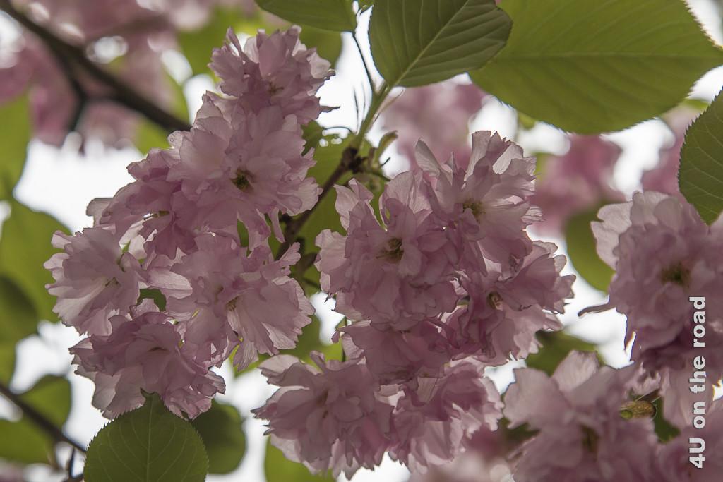 Bild Blüten im Licht zeigt fast durchscheinende Kirschblüten, gerahmt von grünen Blättern