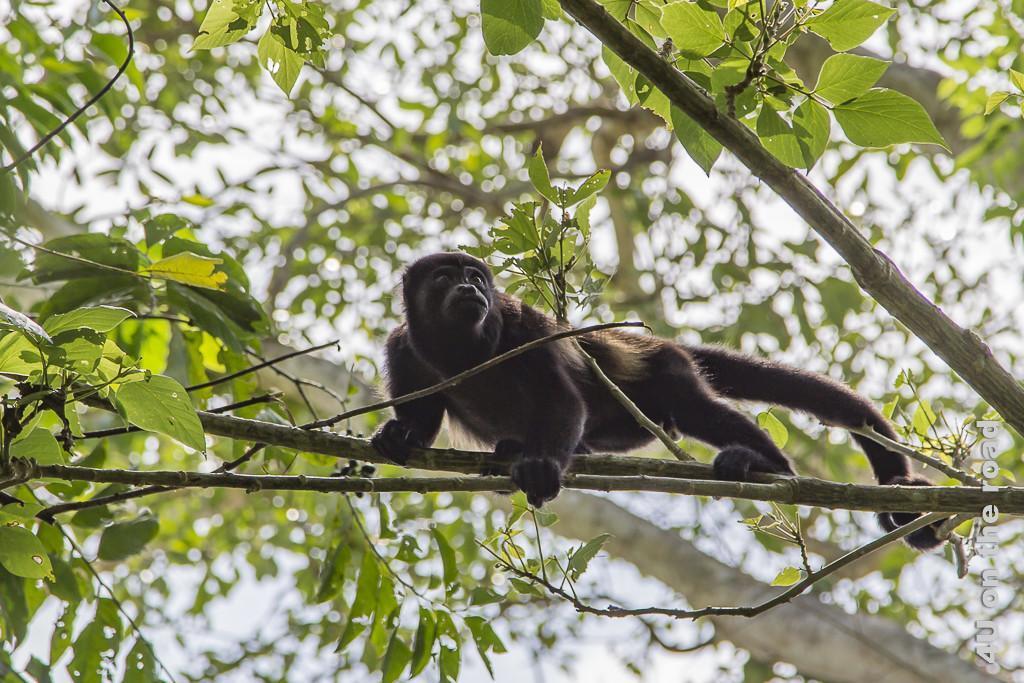 Bild Brüllaffe über uns in den Zweigen, Museo de Cacao