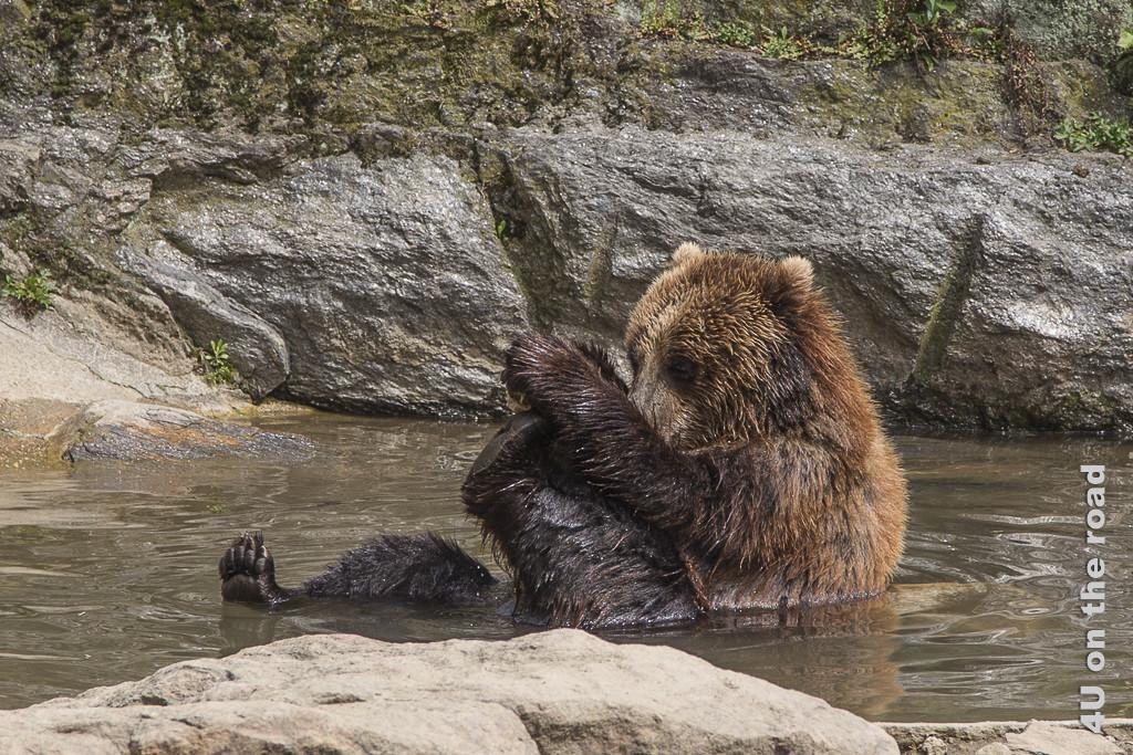 Bild Bär beim Bad im Bronx Zoo, zeigt einen jungen Bären in einem Felspool, der im Wasser sitzt. Ein Bein ausgestreckt, so dass man die Krallen des Fusses sieht. Ein Bein hält er in beiden Händen, so dass man die Fuss-Sohle sieht.