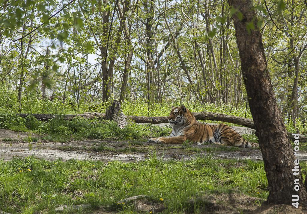 Bild Tiger im Bronx Zoo zeigt einen liegenden Tieger, der aufmerksam seine Umgebung beobachtet, in saftigen grün, unter hohen Bäumen.