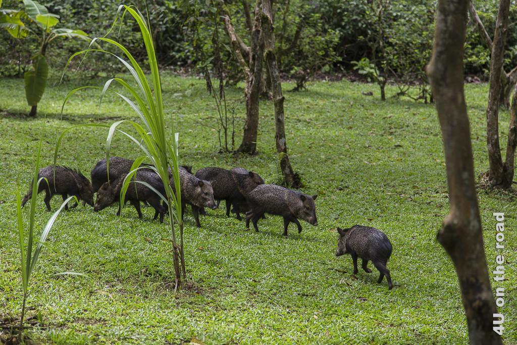 Bild Dschungelschweine im Hanging Bridges Park, zeigt eine Gruppe von 7 Dschungelschweinen im Lauf