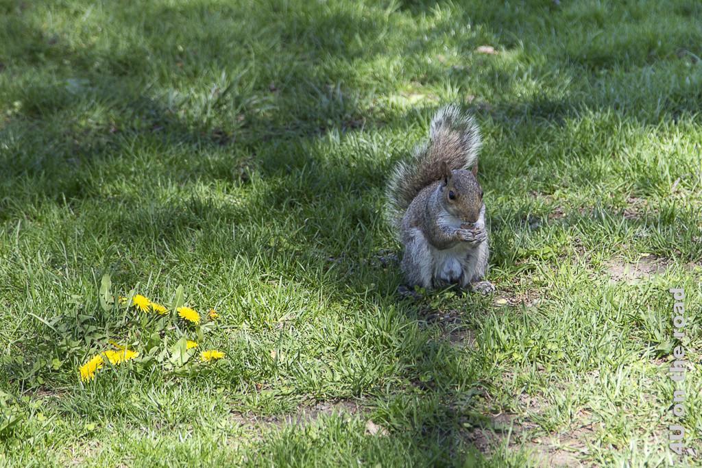 Bild Eichhörnchen beim Lunch zeigt ein sitzendes, dickeres Eichhörnchen, welches von Futter in den Händen abbeisst.
