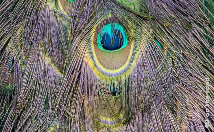 Bild zeigt ein Pfauenauge mit Federn drumherum.