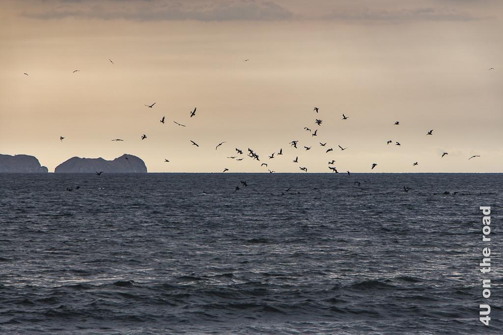 Bild Fregatt-Vögel im Sonnenuntergang zeigt das Meer, Felsen, leicht orangen Himmel und die schwarzen Silhouetten der Fregatt-Vögel