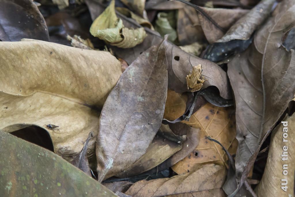 Dieser Frosch ist gut im Laub getarnt - Selva Bananita