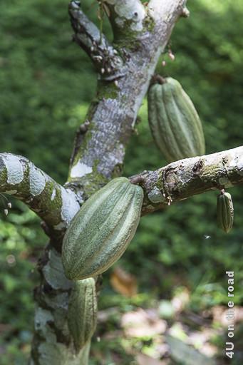 Bild Kakaofrucht am Baum, Museo de Cacao