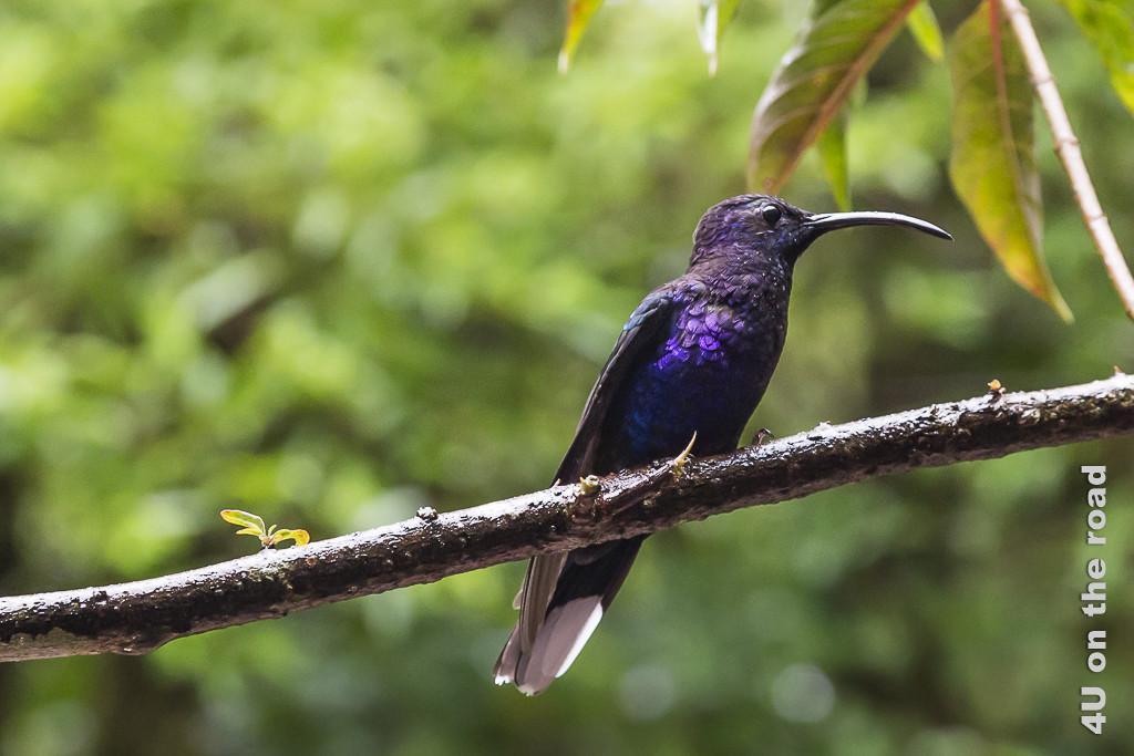 Bild Kolibri, zeigt einen blau-violetten Kolibri auf einem Ast