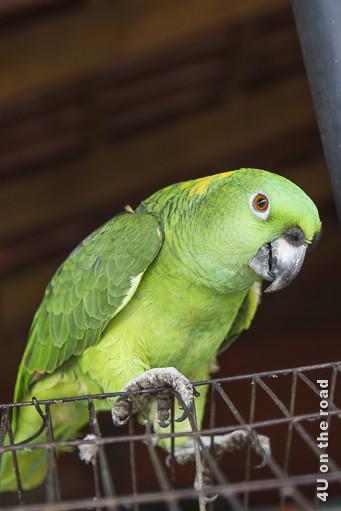 Bild Grüner Papagei