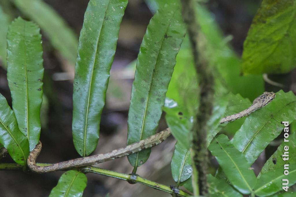 Ungiftige Schlange, die mit ihrem Aussehen aber eine Giftschlange nachahmt. - Selva Bananita