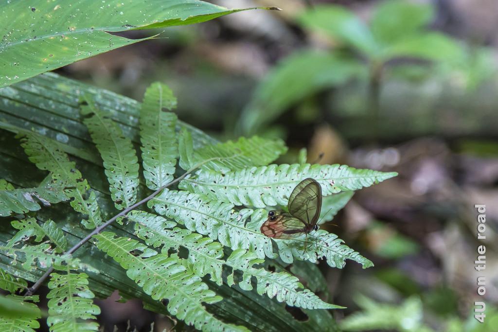 Bild Glasflügler im Dschungel von Selva Bananita zeigt Schmetterling mit durchsichtigen Flügeln auf Farnblatt