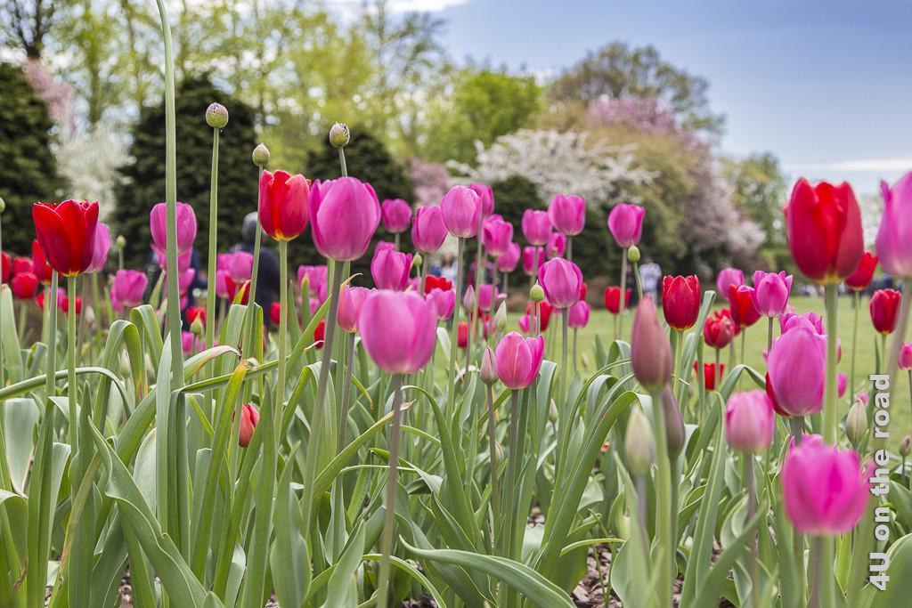 Bild Tulpenblüte im Botanischen Garten New York, zeigt eine Mischung aus roten und pinken Tulpen vor dem Hintergrund rosa und weiss blühender Bäume.