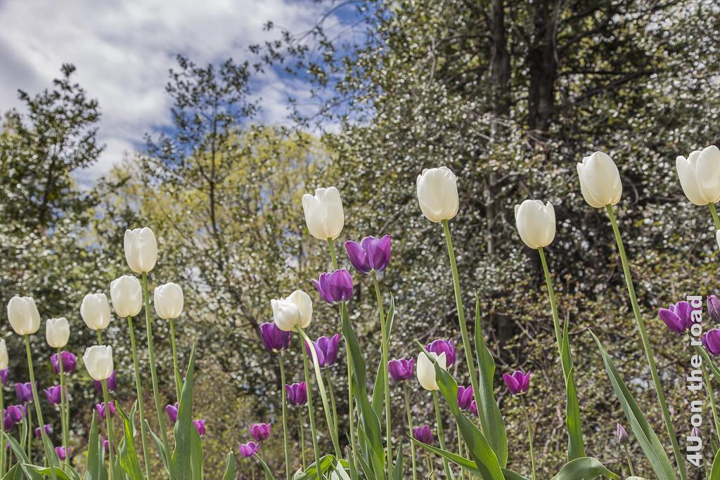 Bild Tulpenblüte im Botanischen Garten New York zeigt hohe, locker angeordnete Tulpen in weiss und lila vor einer unscharfen Baumkulisse.
