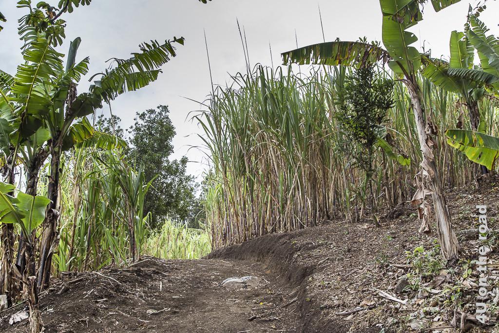 Bild Weg durch das Zuckerrohr