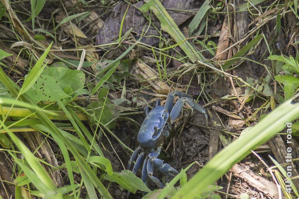 Bild blaue Krabbe am Strassenrand