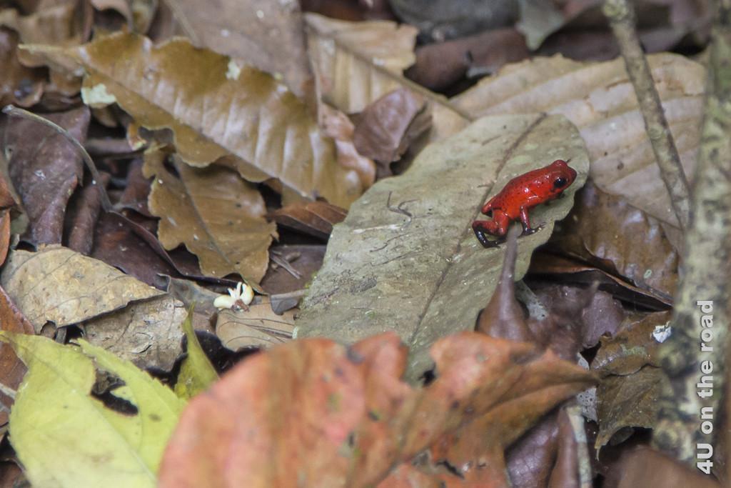 Roter Frosch, Selva Bananita