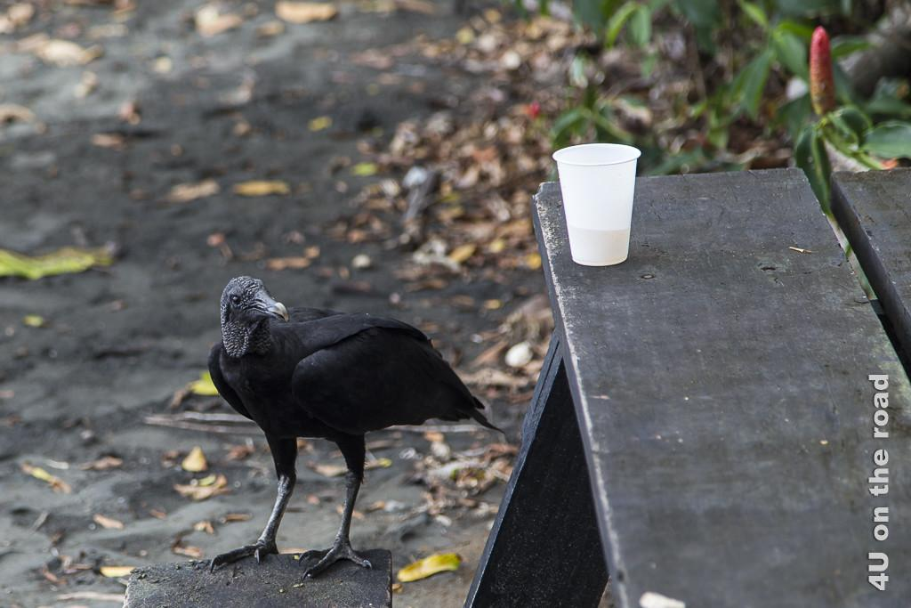 Bild schwarzer Geier am Picknicktisch, Cahuita Nationalpark