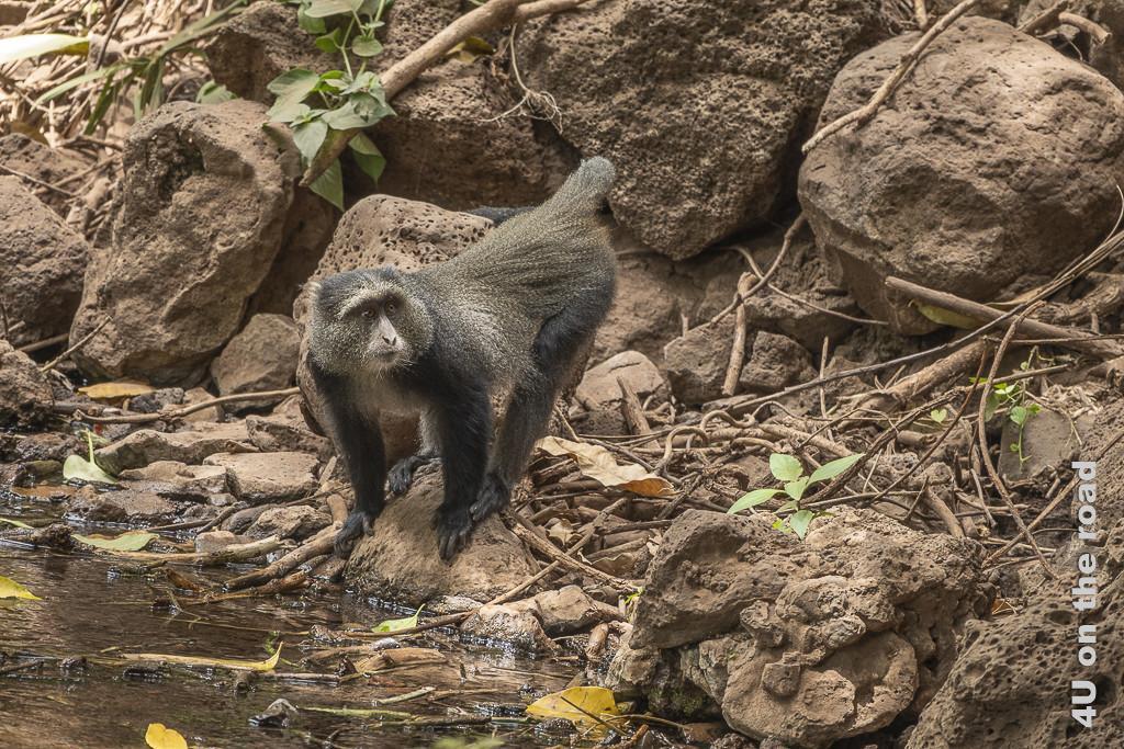 Bild Diadem Affen - Lake Manyara zeigt einen Affen am steinigen Bachufer.