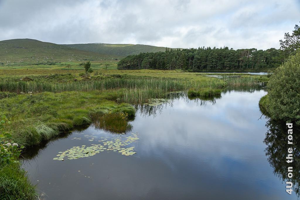 Bild Glenveagh NP - View zeigt ein Stück des Sees mit Seerosenblättern und Schilf. Im Hintergrund Nadelwald und grasbewachsene Hügel.