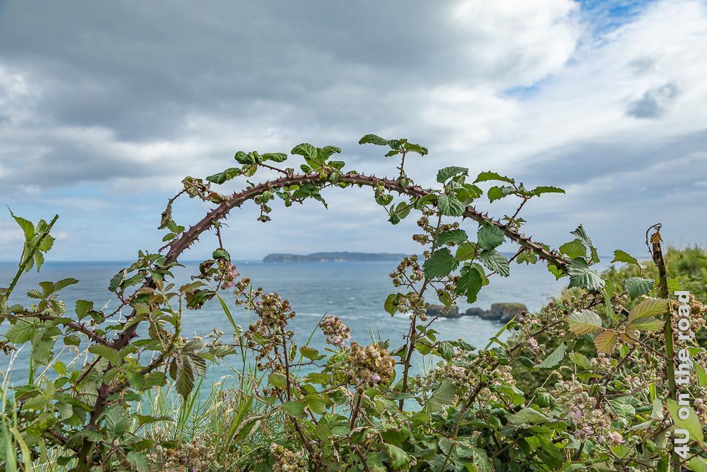 Bild Blick auf Schottland (Aran Island) durch Brombeerranke mit Blüten und ersten Früchten