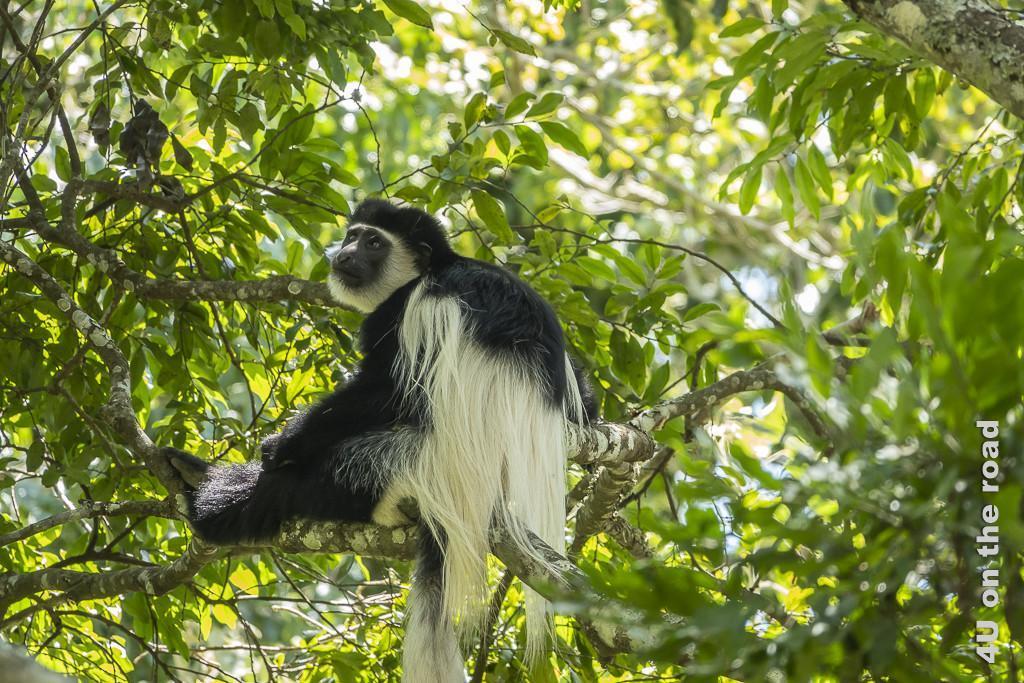 Bild Colobus Affe - Arusha NP zeigt einen der Affen mit langhaarigem schwarz-weissen Fell, den Blick träumerisch in die Ferne gerichtet