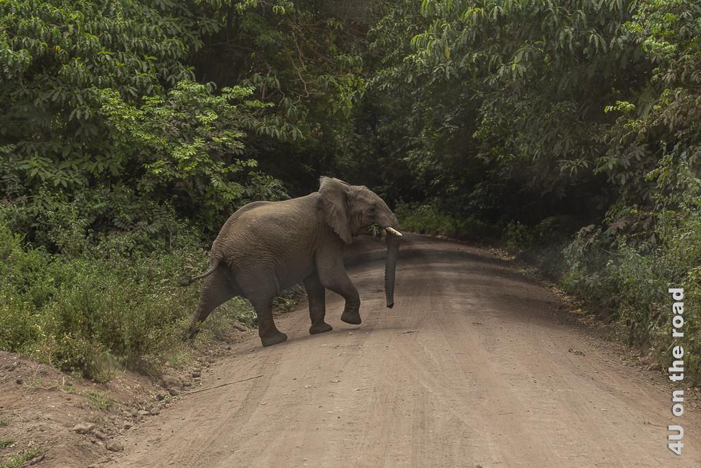 Bild Elefant - Lake Manyara zeigt einen aus dem Wald kommenden Elefanten beim Überqueren der Strasse. Im Maul hat er noch Grünzeug.