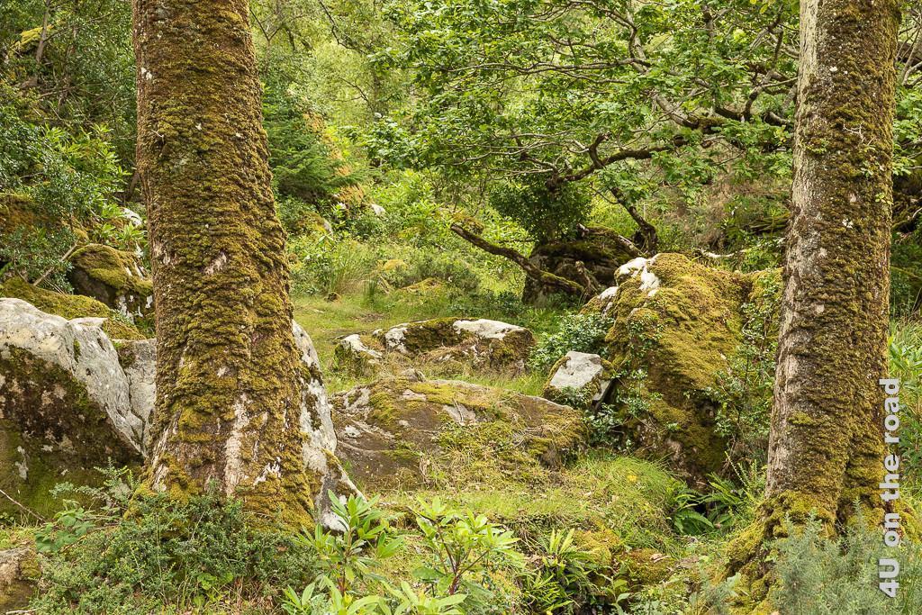 Bild Glenveagh NP - alles bemoost zeigt im Vordergrund zwei bemooste Baumstämme. Zwischen den Bäumen sieht man auf bemooste Felsen und ein uriges Durcheinander von Ästen, Bäumen und Büschen.