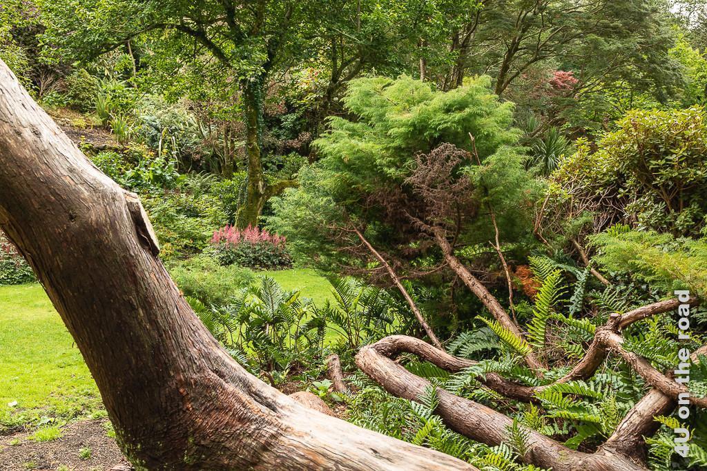 Bild Glenveagh NP - Wilder Park mit alten Bäumen zeigt im Vordergrund ein Durcheinander von Wurzeln und Stämmen, Farnen und Büschen. Im Hintergrund blühen am Fusse des Hanges Astilben.