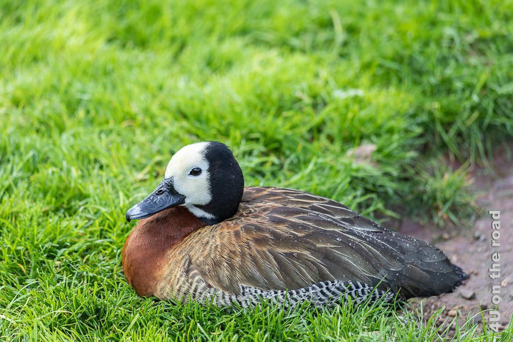 Bild Weissgesichtige Pfeifenente, Castle Espie zeigt eine solche Ente im Gras sitzend. Die Ente hat einen markanten weiss-schwarzen Kopf, braunes Gefieder an der Brust und eher dunkleres Gefieder auf dem Rücken. Der Bau ist schwarz-weiss gestreift.