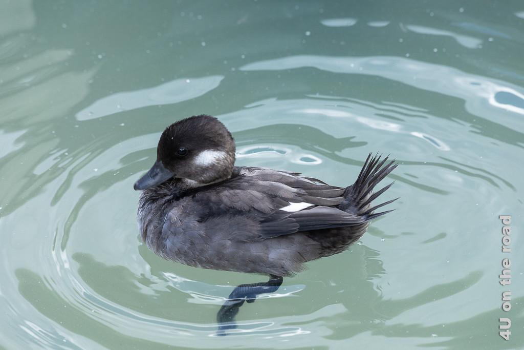 Bild Entenküken, Castle Espie zeigt ein wellenschlagendes Entenküken, welches wild mit den Beinen rudert.