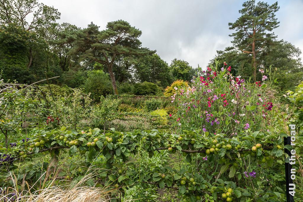 Im Walled Garden von Glenveagh Castle zeigt den als niedriges Spalier gezogenen Ast eines voller Früchte hängenden Apfelbaums. Dahinter erheben sich hohe Wicken, weitere Obstbäume und Dahlien.