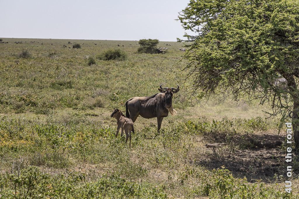 Bild Gnu mit Jungem - westlich vom Lake Ndutu zeigt im Vordergrund ein Gnu Fohlen mit Mutter neben einem Busch. Im Hintergrund sieht man im flimmernden Licht Gnus und Zebras.