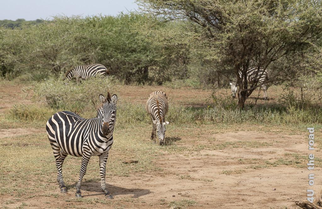 Bild Lake Manyara - Zebras zeigt eine Gruppe von 4 Zebras welche im niedrigen Buschland Grasen. Ein Zebra passt auf und schaut in unsere Richtung.