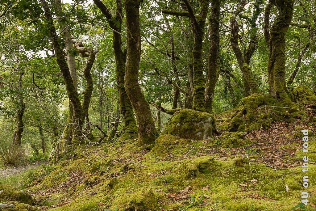 Bild Glenveagh NP - Weg zurück durch den Wald zeigt bemooste, krumme Baumstämme und Felsen und die Kurve des Kiesweges
