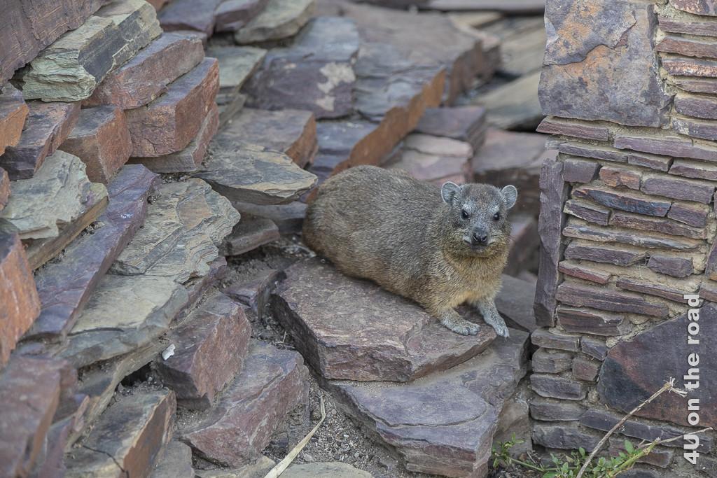Bild Klippschliefer - Serengeti NP zeigt einen entspannt auf Steinen liegenden Klippschliefer.