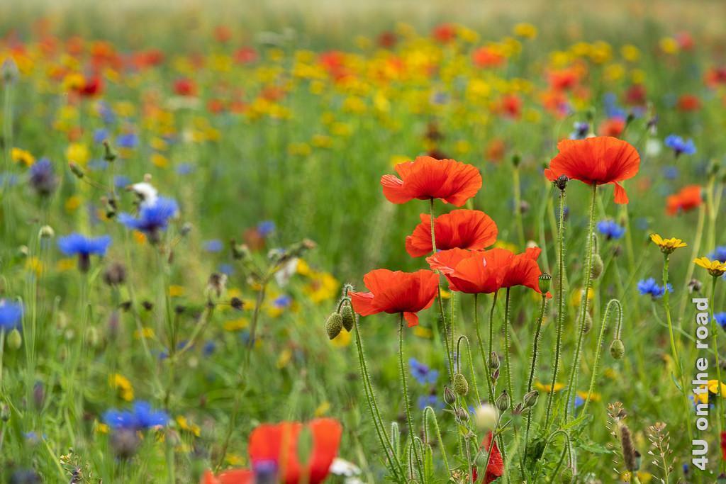 Ein Feld voller Blumen, Mount Stewart zeigt im Vordergrund rote Klatschmohnblüten, Samenkapseln und Knospen und im Hintergrund blaue Kornblumen und gelbe Margeriten