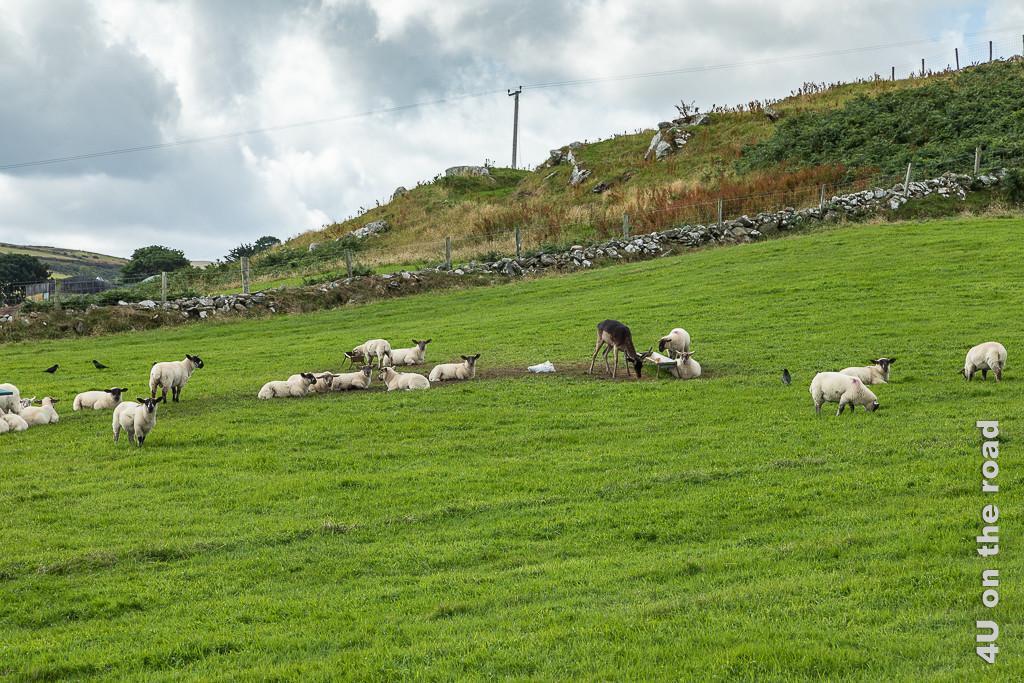 Bild Ein Hirsch bedient sich am Futtertrog der Schafe - Torr Head zeigt einen Hirsch zwischen lauter schwarzgesichtigen Schafen