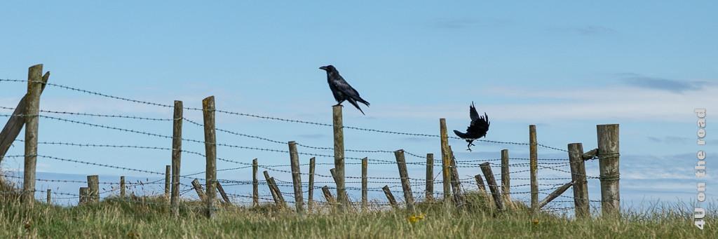 Bild Flugkünste im Wind zeigt einen Weidezaun und zwei Raben. Der eine Rabe sitzt und der andere versucht im Wind abzufliegen/zu landen und wird dabei ganz schön zerzaust.