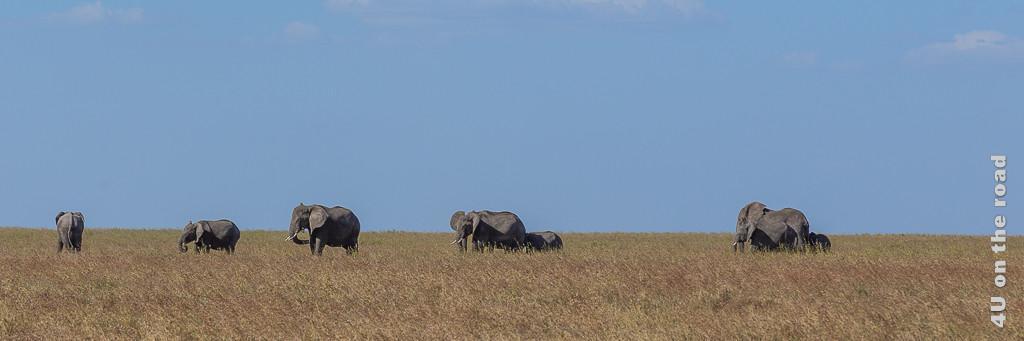 Bild Elefanten Herde in der Plaine zeigt grosse und kleine Elefanten in der Grasebene