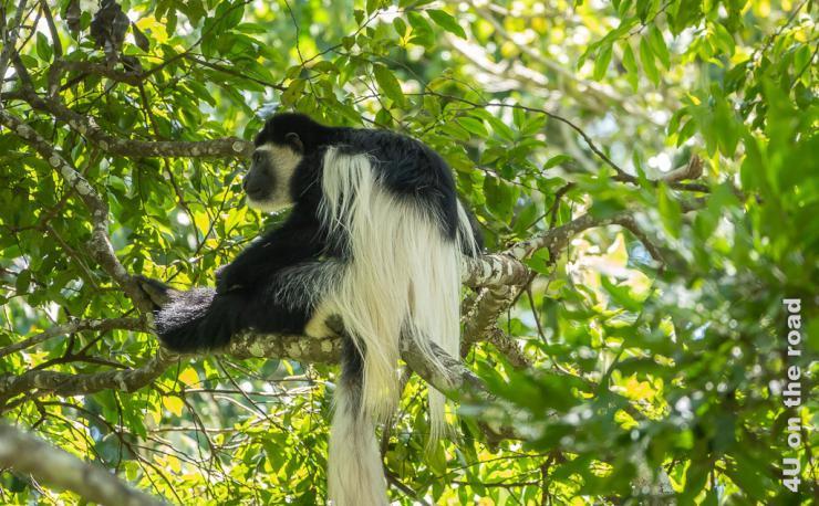 Colobus Affe im Arusha NP