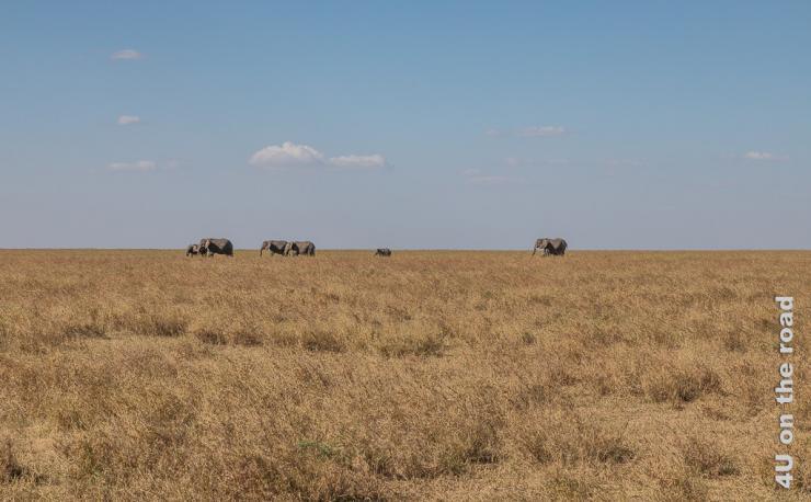 Bild Endlose Weite - Serengeti zeigt eine Elefantenherde in der endlosen, baumfreien Grassteppe