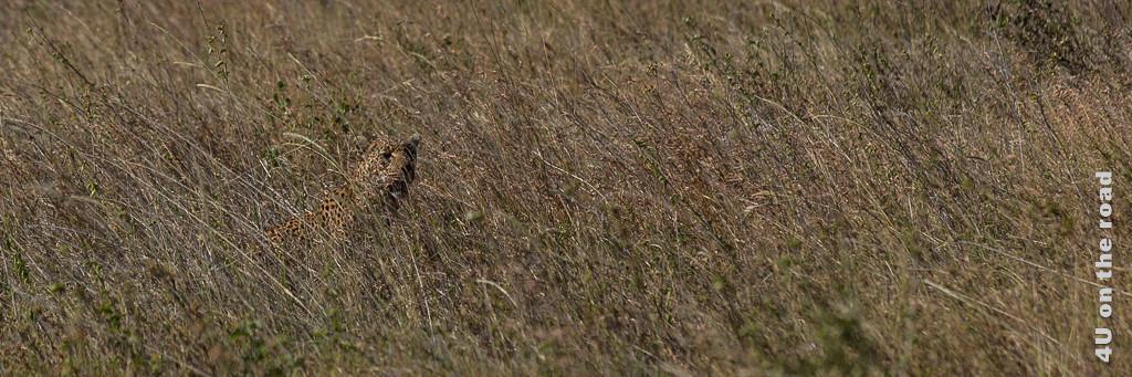 Leopard im hohen Gras