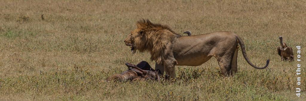 Bild Reisetipps Tansania - Löwe mit Beute zeigt einen stehenden Löwen, der die Beute vor sich abgelegt hat und in die Ferne schaut.
