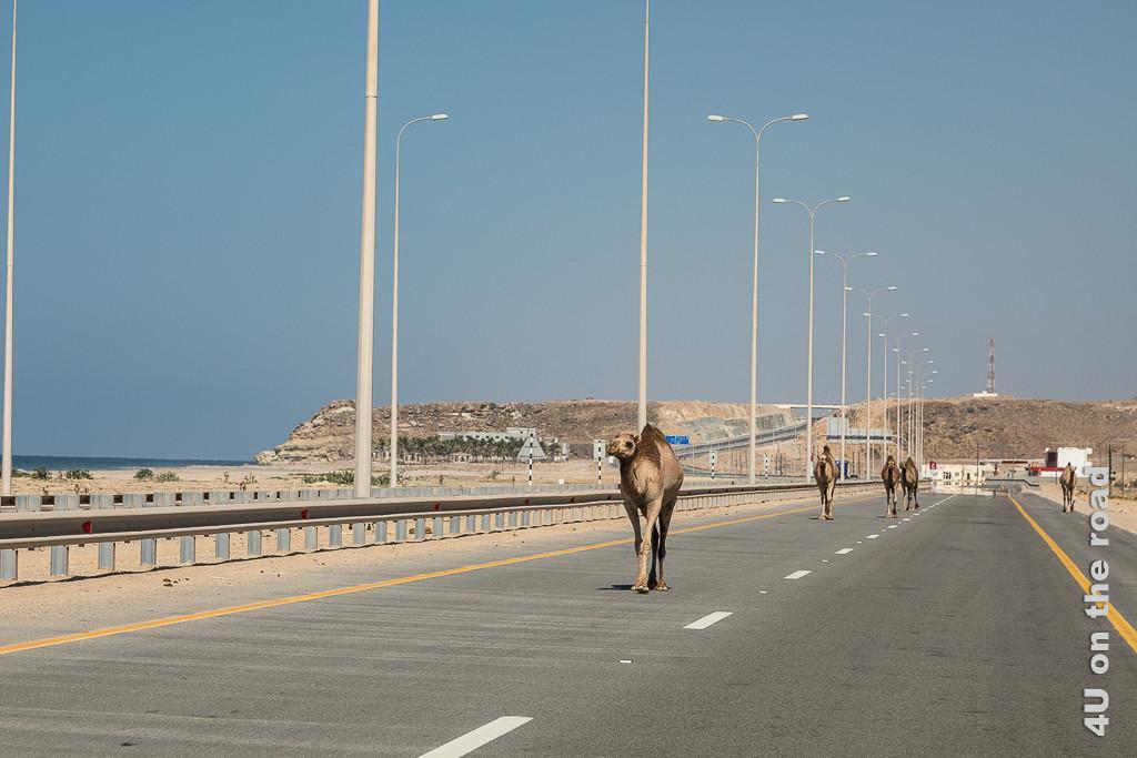 Bild Kamele auf der Autobahn zeigt 4 Kamele, welche gemütlich auf der Überholspur laufen und eines welches auf dem Standstreifen läuft.