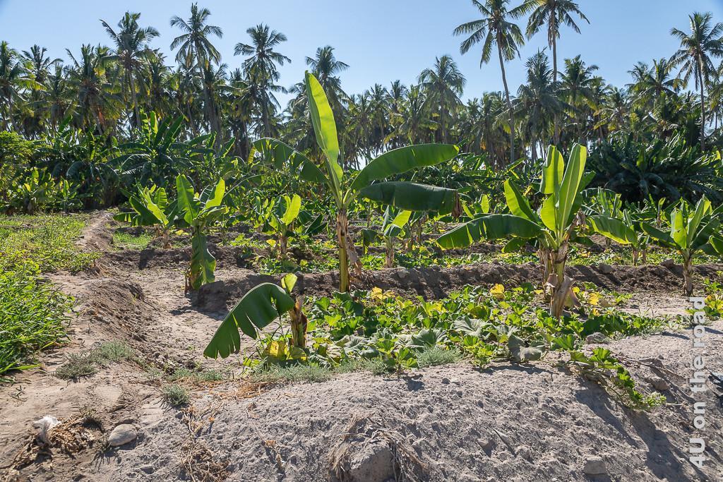 Bild Neu angelegte Plantage in Salalah - Durch die Gräben wird das Wasser geleitet zeigt in Vertiefungen gepflanzte Bananenstauden und Kürbisgewächse als Bodendecker. Im Hintergrund stehen Kokospalmen.