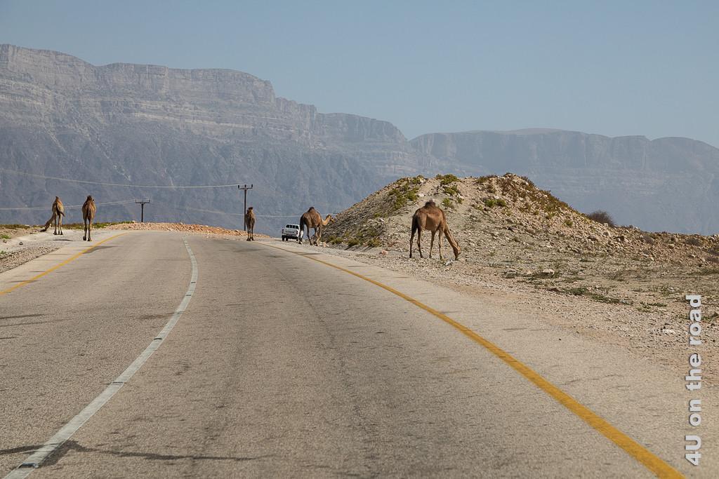 Bild Auf dem Weg nach Sadah zeigt Kamele auf der kurvigen Strasse. Im Hintergrund erhebt sich das Küstengebirge im Dunst.