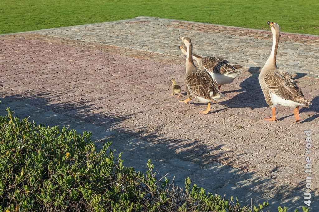 Bild Gänse mit Küken im Al Baleed Archäologiepark zeigt der stolz hinter einem Küken her laufende Gänse